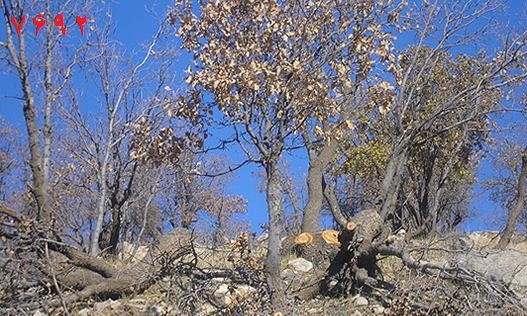 درخت خشک شده جنگل