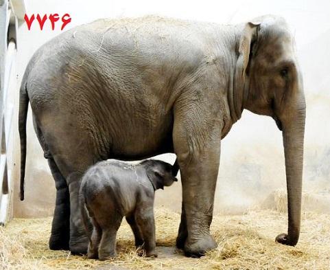 بچه فیل با مادرش
