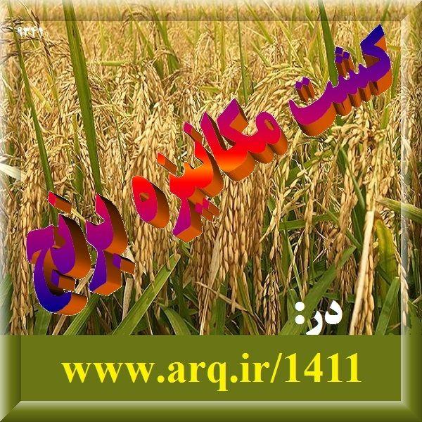 معیار مناسب برای بهبود برنج