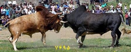 جنگ گاوهای نر