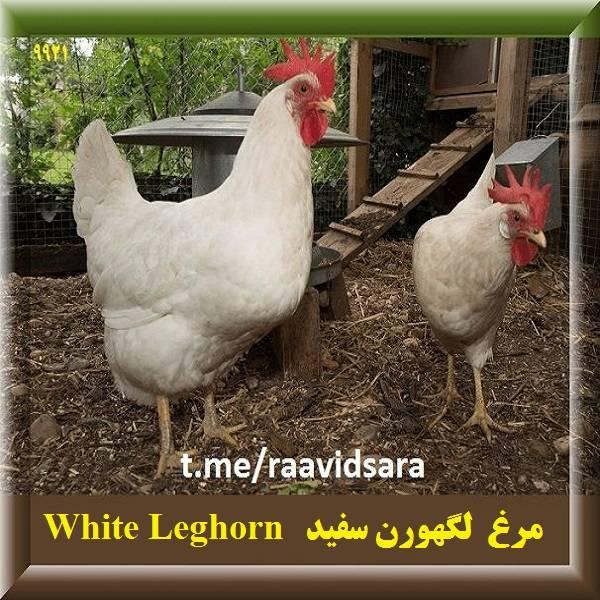 چند نژاد مرغ برای مزرعه - مرغ لگهورن سفید White Leghorn