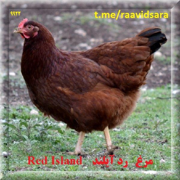 چند نژاد مرغ برای مزرعه - مرغ رد آیلند Red Island