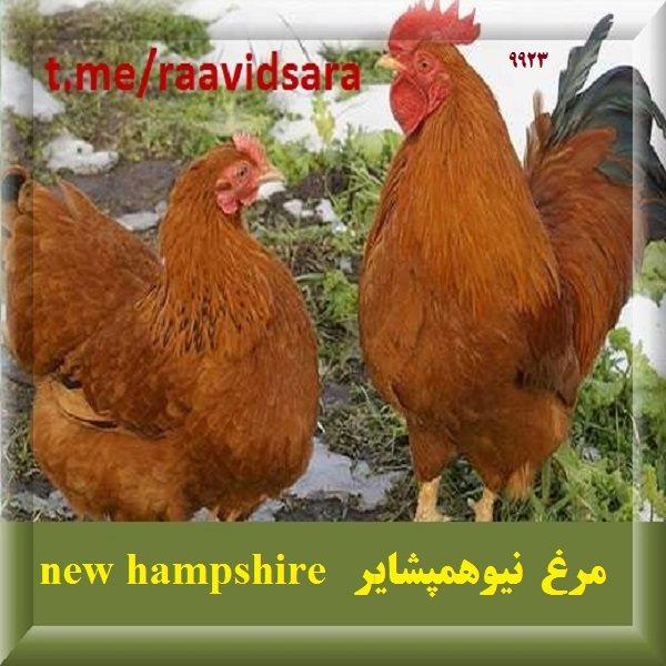 چند نژاد مرغ برای مزرعه - مرغ نیوهمپشایر new hampshire
