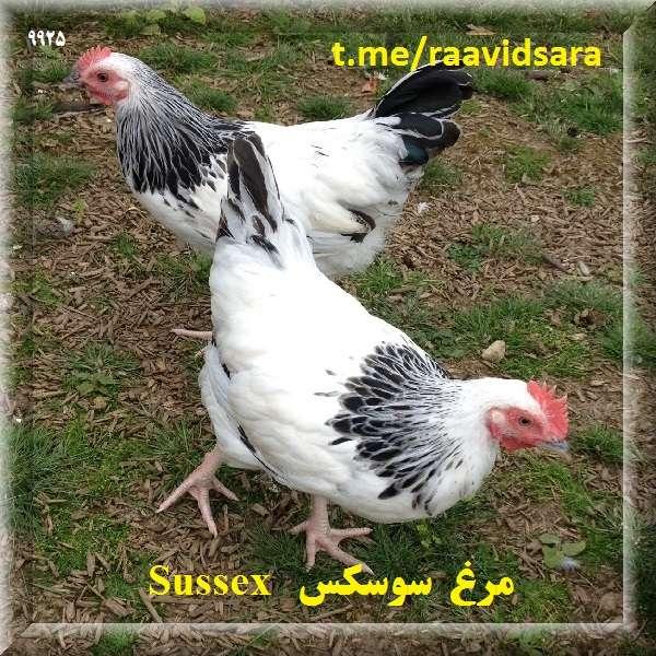 چند نژاد مرغ برای مزرعه - مرغ سوسکس Sussex
