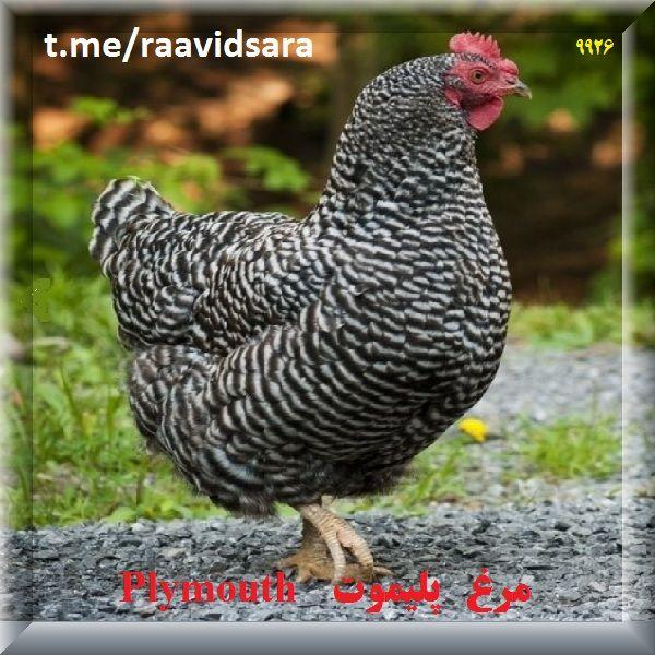 چند نژاد مرغ برای مزرعه - مرغ پلیموت Plymouth