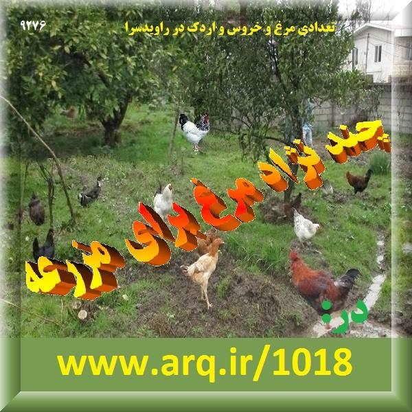 چند نژاد مرغ برای مزرعه